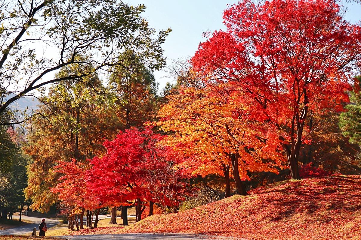 湖岩美術館の赤い紅葉の道を女性が歩いている。